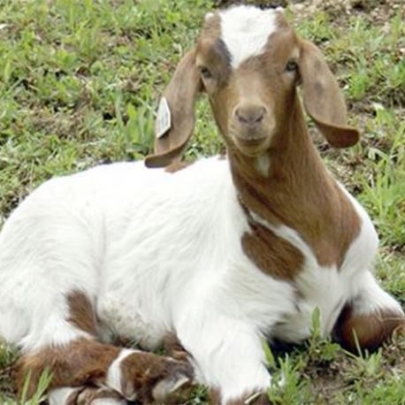 Young Bily Goat