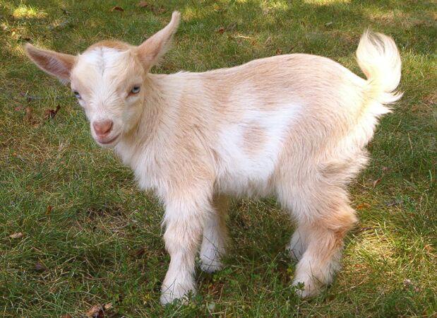 Baby Nanny Goat