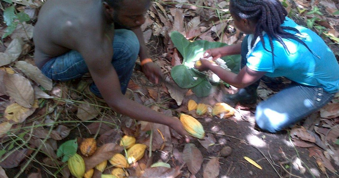 Sorting cacao pods