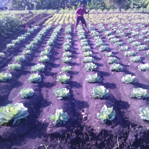 photo of rows and rows of cabbages