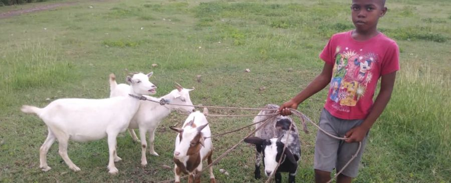 Boy with 4 goats