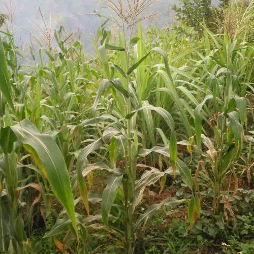 Corn growing on a mountainside